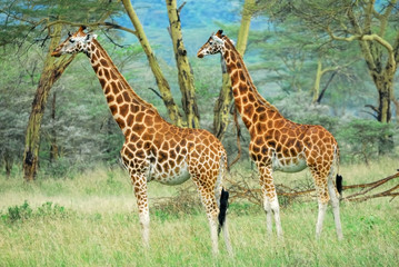Giraffes in the forest, Kenya