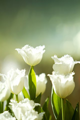 Beautiful white tulip flowers in spring season