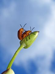 nude bug