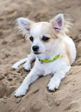 chihuahua puppy on the beach sand