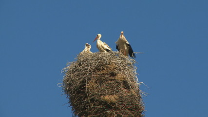 Storks family in the nest