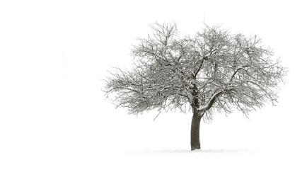 Schneebedeckter Apfelbaum auf Reinweiß