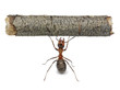 worker ant holding log, isolated