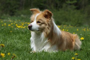 chien allongé dans l'herbe, oreilles à demi dressées