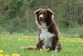 border collie marron et blanc