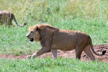 leones en Kidepo