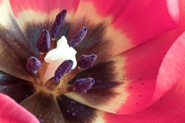 Extreme macro of a beautiful red and purple tulip