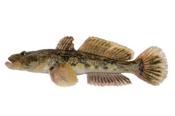 Mesogobius batrachoeephalus
