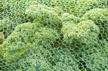 Kale under a protection net