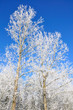 peupliers recouverts de leur manteau d'hiver