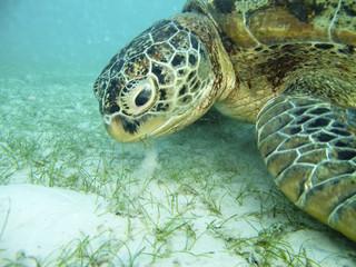 Feeding turtle.