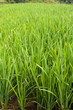 Rice Paddy close up portrait