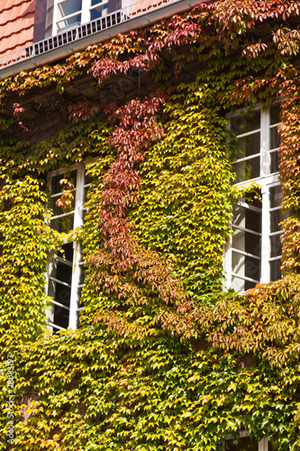 Haus mit wildem Wein, house with Virginia creeper