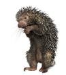 Brazilian Porcupine, Coendou prehensilis, standing