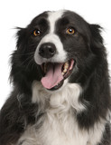 Close-up of Border Collie panting, 5 years old