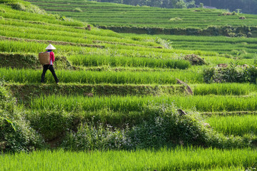 Vietnam Rice Paddy Farmer