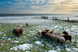 sheep in winter