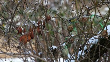 Meisenknödel zur Vogelfütterung im Winter