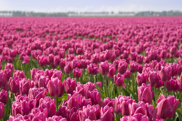 Field of purple tulips in the Netherlands
