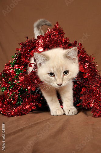 Really cute christmas kitten with blue eyes