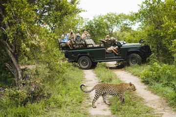 Leopard Panthera pardus crossing road, tourists in jeep in background