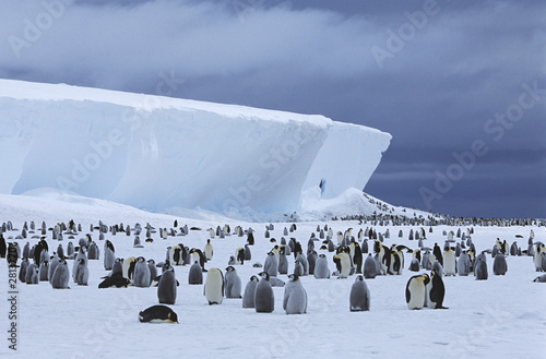 Emperor Penguin Aptenodytes forsteri colony and iceberg