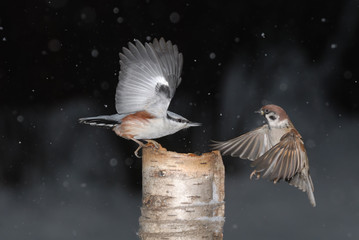 Nuthatch and Tree Sparrow Winter Fight