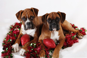 Two cute Christmas Boxer puppies