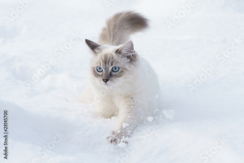 Canvas Lynx cat in snow