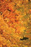 Abstract red and golden maple leaf autumn background