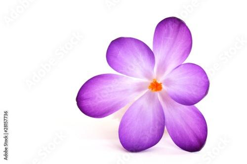 Staande foto Krokussen Krokusblüte, freigestellt