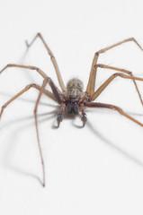 Tegenaria domestica - house spider