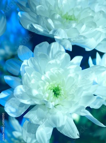 Foto Spatwand Dahlia white chrysanthemum closeup photo with abstract lighting