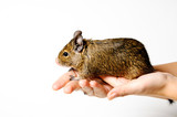 Degu on female hand isolated on white background