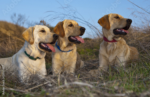 Three Dogs Looking Left