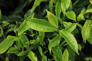 Tea Leaves, Malaysia