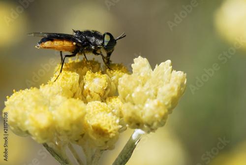 Mouche noire et orange sur une fleur jaune de christian - Mouche jaune et noire ...