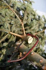 Weihnachtsbaum fällen
