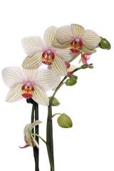 Orchideen Blüten