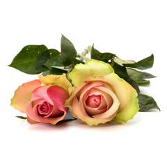 Beautiful roses isolated on white background
