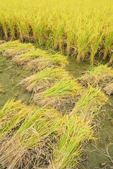 shot of rice field and drops