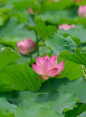 lotus flower .