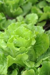 healthy lettuce growing in the soil .