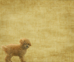 vintage wallpaper background with toy poodle