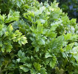 feuilles de céleri bio
