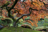 Fototapety Red maple, Japanese garden