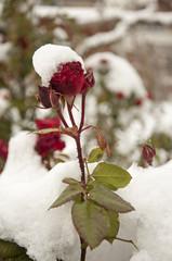 rose im schnee 3