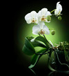 Beautiful White Orchid isolated on black