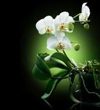 Fototapeta na białym tle - czarny - Kwiat