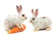 White small rabbit